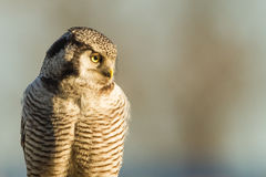 Northern hawk-owl. Close-up Stock Photos