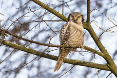 Northern hawk-owl Royalty Free Stock Photography