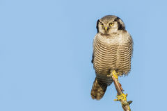 Northern hawk-owl close-up Royalty Free Stock Photos