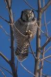 Northern Hawk Owl. Surnia ulula royalty free stock photo