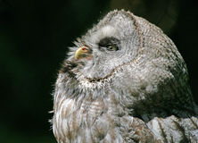 Northern Hawk Owl. Portrait of a Northern Hawk Owl Royalty Free Stock Photography