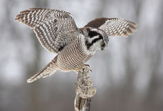 Northern Hawk-owl. Atop a tree Royalty Free Stock Photography