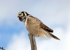Northern Hawk-Owl Calling Royalty Free Stock Image