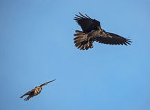 Northern Hawk Owl chasing a Raven Royalty Free Stock Photography