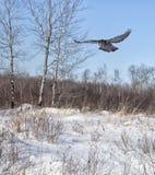 Northern Hawk Owl Stock Photography