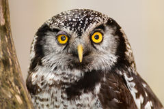Northern Hawk Owl  (Surnia ulula) Royalty Free Stock Photos