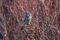 Northern Hawk owl royalty free stock photography