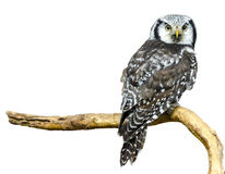 Northern hawk owl Royalty Free Stock Photos