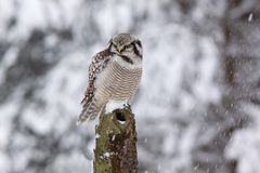 Northern Hawk owl /Surnia ulula/ Royalty Free Stock Photo