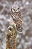 Northern Hawk owl /Surnia ulula/ royalty free stock photo