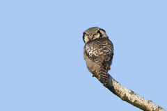 Northern Hawk Owl (Surnia ulula) Royalty Free Stock Photos