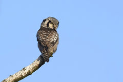 Northern Hawk Owl (Surnia ulula) Royalty Free Stock Image