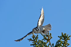 Northern Hawk Owl (Surnia ulula), flying with its capture Stock Images