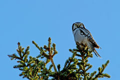 Northern Hawk Owl (Surnia ulula), with his capture. The Northern Hawk Owl (Surnia ulula) is a daylight hunter and here with a vole in his claws. Uppland, Sweden stock photography