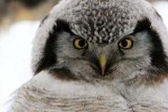 Northern Hawk Owl  (Surnia ulula), Kamchatka Royalty Free Stock Photography
