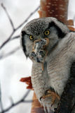 Northern Hawk Owl  (Surnia ulula), Kamchatka, Stock Images