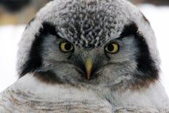 Northern Hawk Owl  (Surnia ulula), Kamchatka Royalty Free Stock Images