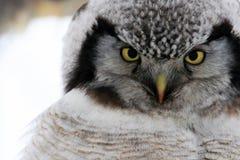 Northern Hawk Owl  (Surnia ulula), Kamchatka, Russia Stock Image