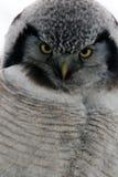 Northern Hawk Owl  (Surnia ulula), Kamchatka, Russia Stock Images