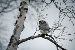 Northern hawk-owl. The northern hawk-owl Surnia ulula is a non-migratory owl that usually stays within its breeding range, though it sometimes irrupts southward Stock Photo