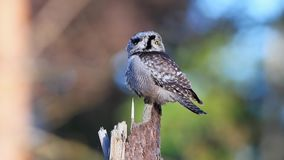 Northern hawk-owl Surnia ulula stock footage