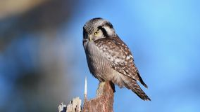 Northern hawk-owl Surnia ulula stock video