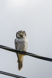 Northern Hawk Owl - Surnia ulula - resting on electrical wire stock photo
