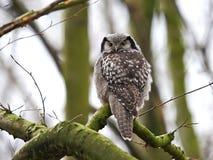Northern Hawk Owl (Surnia ulula) Stock Photos
