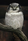 Northern hawk-owl (Surnia ulula). Stock Images