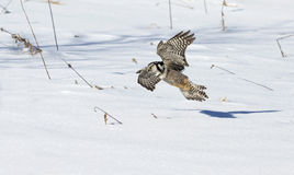 Northern Hawk Owl Stock Photography