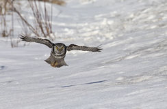 Northern Hawk Owl Stock Images