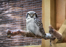 Northern hawk owl on wooden texture Royalty Free Stock Photo