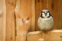 Northern hawk owl on wooden texture Stock Images