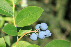 Northern highbush blueberry Royalty Free Stock Image