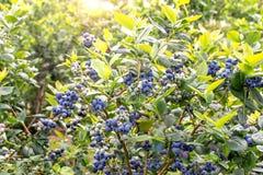 Free Northern Highbush Blueberry On The Plantation Stock Images - 152613984