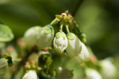 Northern highbush blueberry white flowers Royalty Free Stock Image