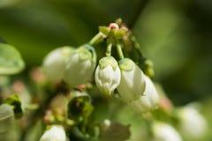 Northern highbush blueberry white flowers Royalty Free Stock Image
