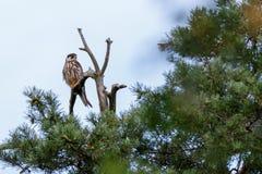 Northern Hobby Falco subbuteo. Bird Royalty Free Stock Image