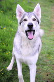 A northern inuit wolf dog. 25% wolf, this is a rare breed stock images