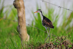 Northern Jacana Stock Images