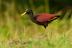 Northern Jacana - Jacana spinosa is a wader which is a resident breeder from coastal Mexico to western Panama, and on Cuba, royalty free stock image