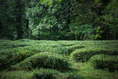 Northern Krasnodar tea field in forest. Royalty Free Stock Photography