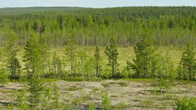 Northern landscape with pines and bog. Russia Stock Images