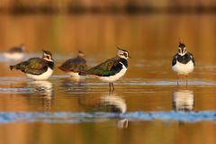 Free Northern Lapwing Royalty Free Stock Photography - 17504647