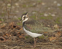 Northern Lapwing Royalty Free Stock Image