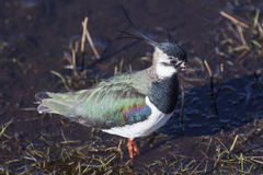 Northern Lapwing Stock Photos