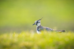 Free Northern Lapwing Royalty Free Stock Photography - 52166747
