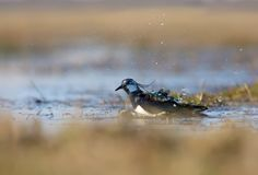 Northern lapwing washes himself with a lot of water drops royalty free stock image