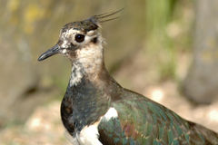 Northern Lapwing bird Royalty Free Stock Photos