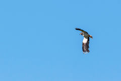 Northern Lapwing bird flying Stock Images